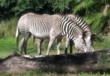 eds-zebra